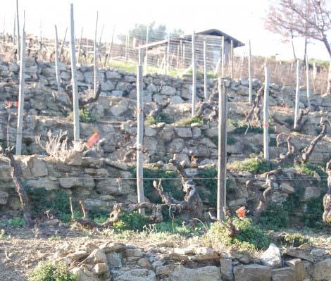 vigna di rossese di Bricco Arcagna